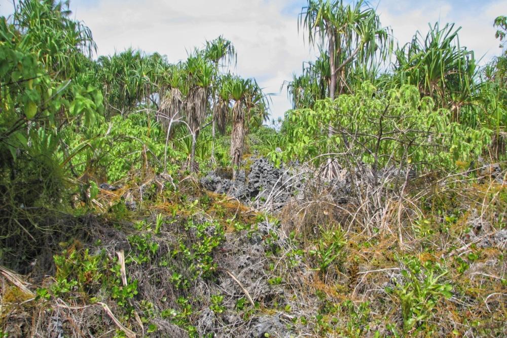 Zone de feo sur l'atoll de Niau au Tuamotu. Photo Jean Francois Butaud 2006