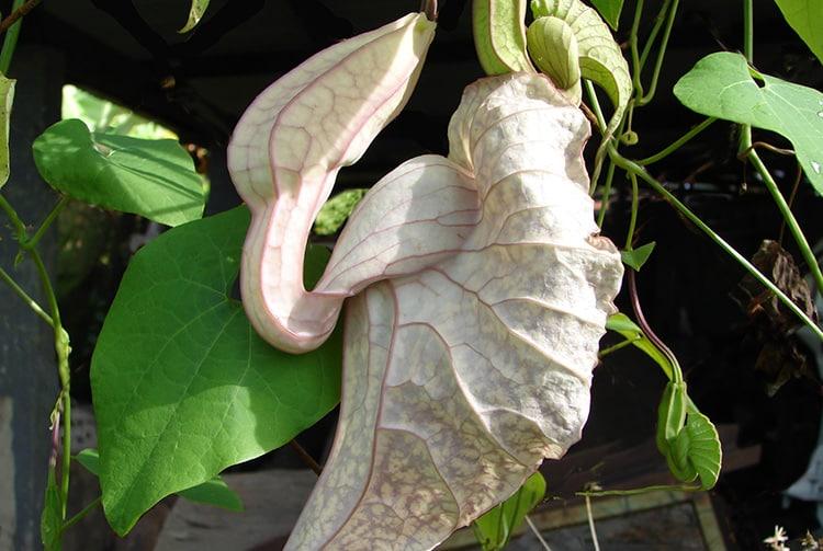 Aristoloche géante - Aristolochia, la fleur carnivore