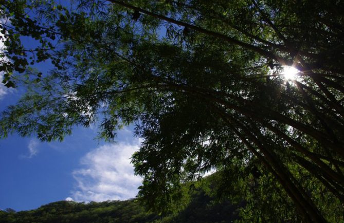 Bambous du lézard de la vallée de la Fautaua. Photo Yan Peirsegaele, Photowalk 2011
