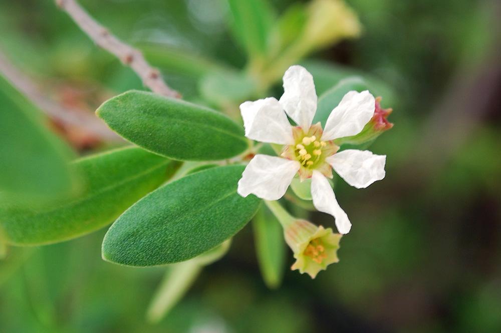 Fleurs de Miki miki, Aie, Pemphis acidula