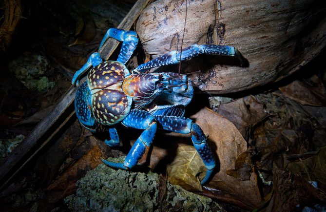 Crabe de cocotier, Kaveu. Photo Danee Hazama