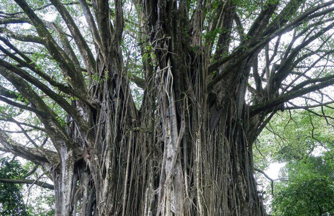 Vieux banian de Hatiheu - Aoa
