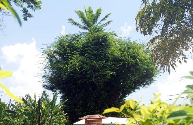 Palmier sur le Banian