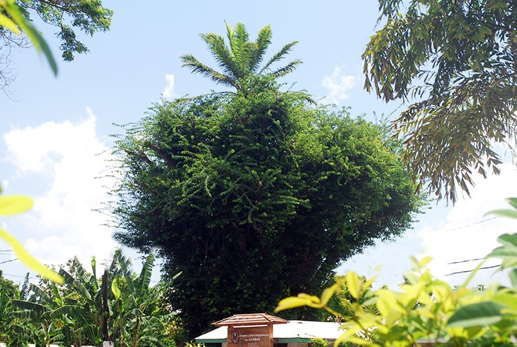Palmier sur le banian tahiti heritage - Racine d un palmier ...
