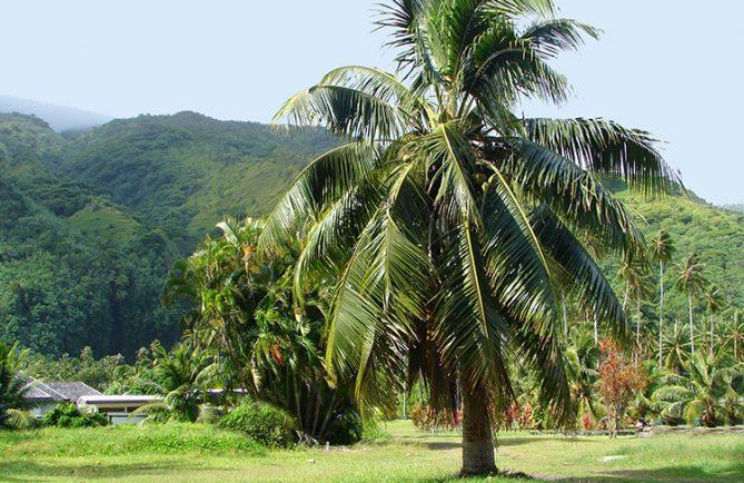 Cocotier planté par le général de Gaulle, en 1966 à Pueu.