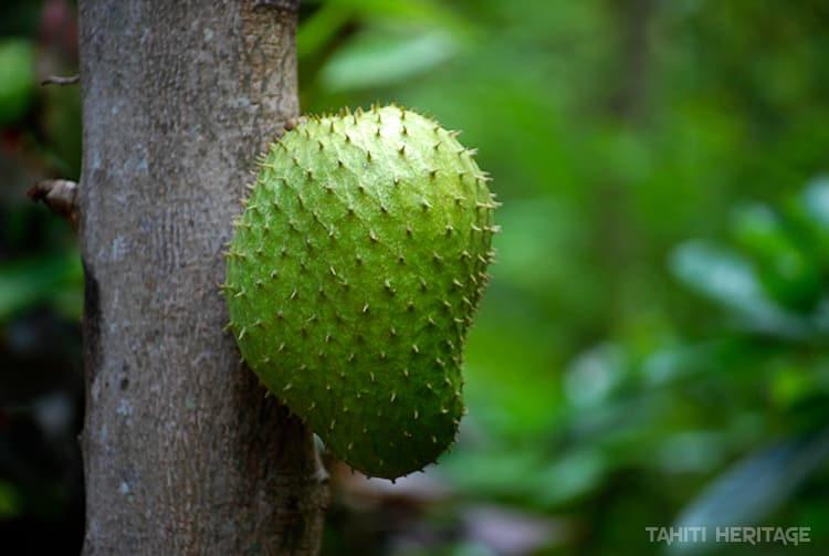 Corossol de Tahiti (Annona muricata) poussant sur le tronc de l'arbre. © Tahiti Heritage