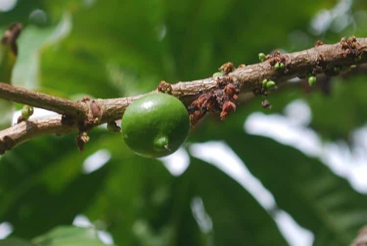 Fruit vert de Abiu de Tahiti, Abiu, Pouteria Caimito © Tahiti Heritage