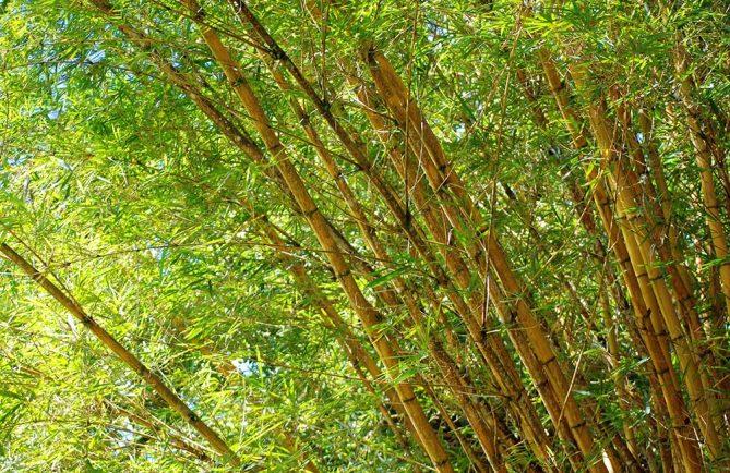 Bambou jaune - Bambusa vulgaris © Tahiti Heritage