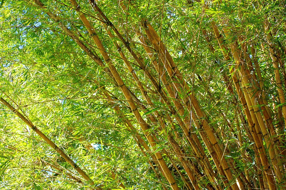 bambou jaunes aux rayures vertes tahiti heritage. Black Bedroom Furniture Sets. Home Design Ideas
