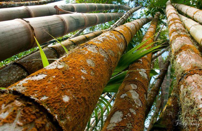 Bambou géant, Dendrocalamus giganteus. Photo TalySong
