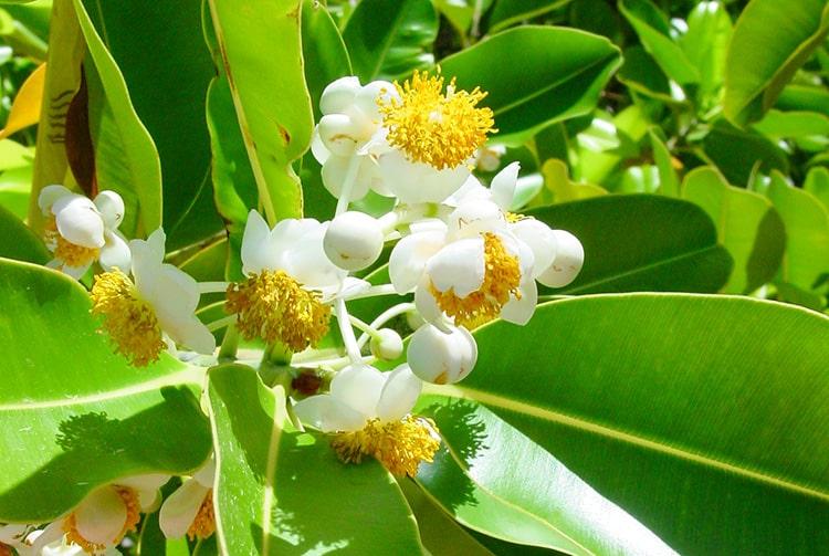 Fleurs de Tamanu