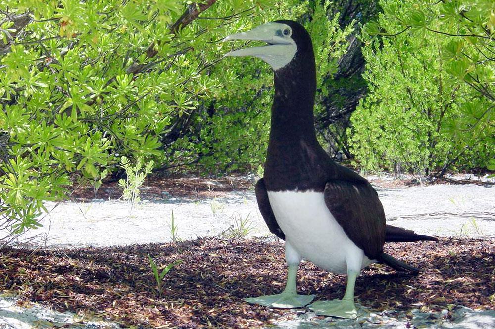 Légende de Manuhere, l'oiseau en manque d'amour – Tetiaora