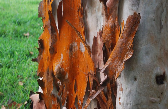 Ecorce d'Eucalyptus