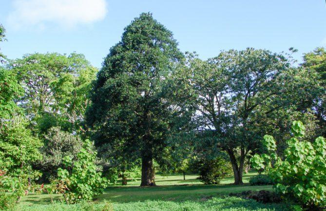 Agathis, Kaori, du jardin botanique de Tahiti