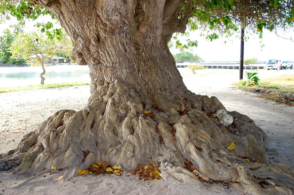 Pied d'un des tou, du quai de Teana, à Fangatau. © Tahiti Heritage