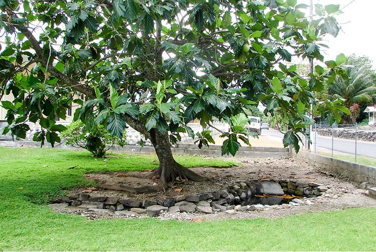 Uru de la variété Hamoa, au pied de la source Vaipua Maeva, Huahine