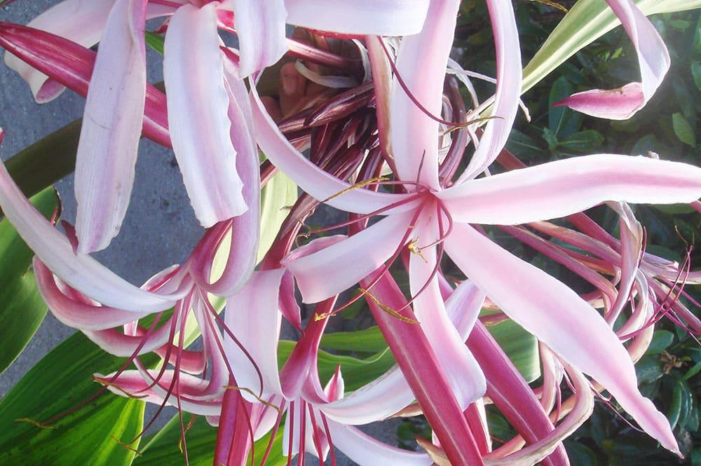Fleurs du Crinole d'Asie rose