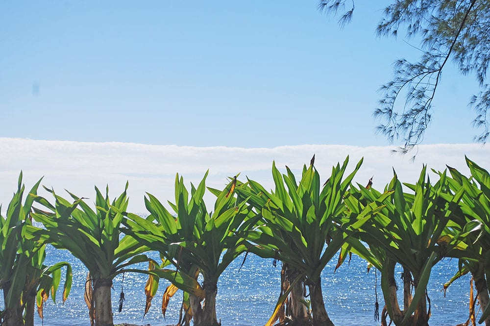 Crinole d'Asie, Riri, le poireau de Tahiti