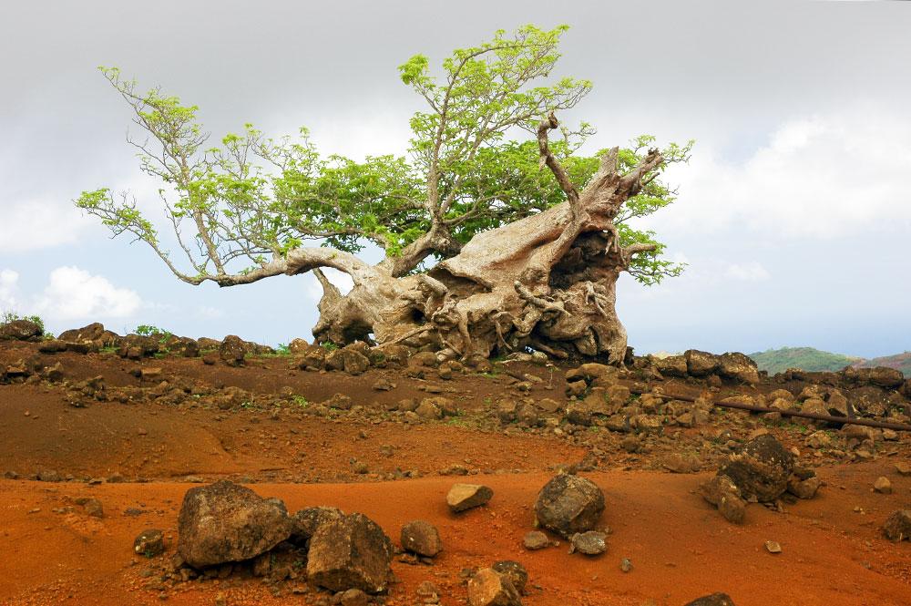 Arbre solitaire de l'île de Eiao, aux Marquises. Photo Claude Serra