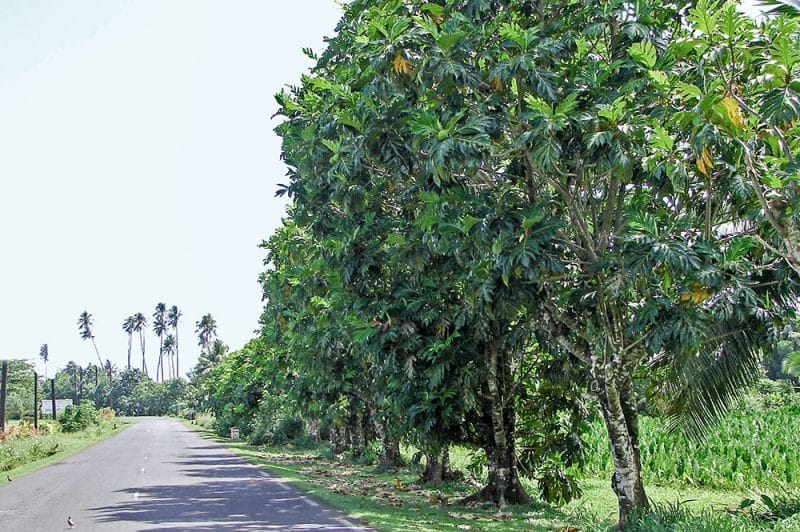 Allée d'arbres à pain, à l'entrée de Tautira, Tahiti