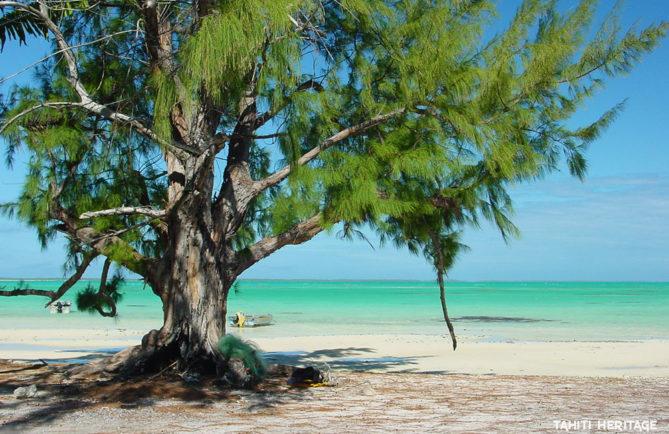 'Aito (casuarina-equisetifolia) devant le lagon vert de Anaa, Tuamotu. © Olivier Babin
