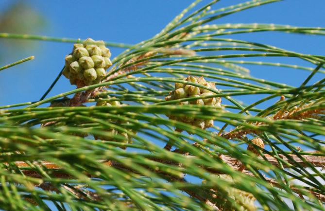 Chatons femelles de Casuarina equisetifolia, Aito,