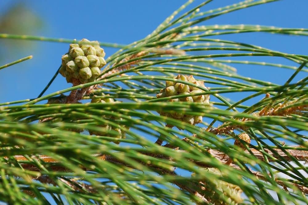 Chatons femelles de Aito ( Casuarina equisetifolia)