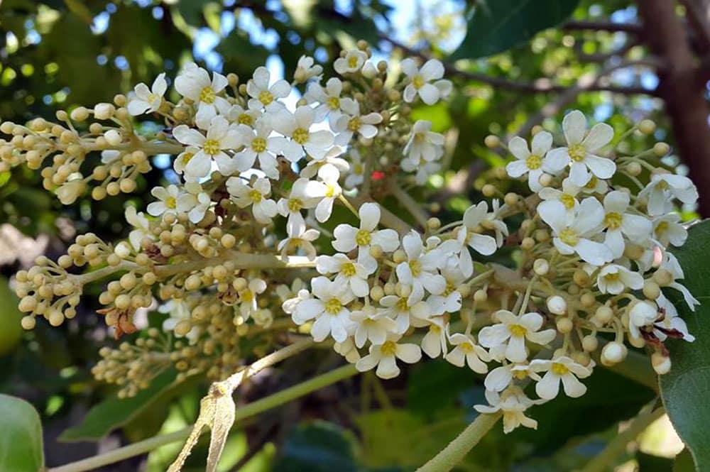 Fleurs de Bancoulier de Tahiti, Ti'a'iri. Photo Chantal Alexandre Tahiti iti