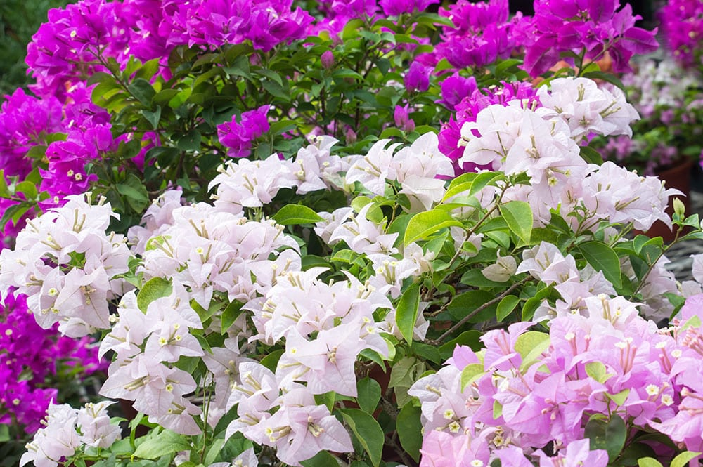 Bougainvilliers violet, mauve et blanc