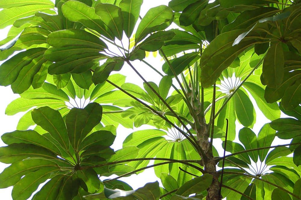 Inflorescence de Brassia actinophylla