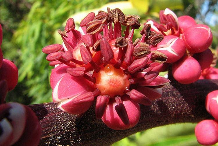 Fleur de Brassia actinophylla