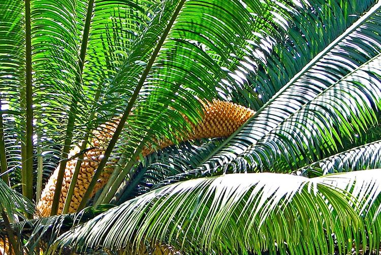 Inflorescence mâle de cycas © Tahiti Heritage