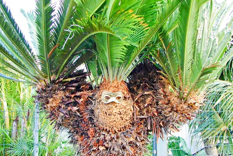 Cycas décoré pour Halloween © Tahiti Heritage