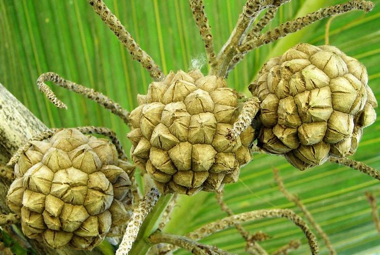Graines de palmier des Marquises, Enu, Pelagodoxa henryana