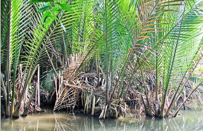 Palmier Nypa du motu du jardin botanique de Tahiti