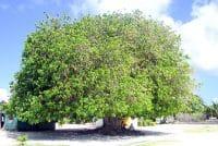 Tou, arbre centenaire du vieux terrain de foot de Hitianau à Faaite