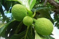 Trois uru, fruit de l'arbre à pain
