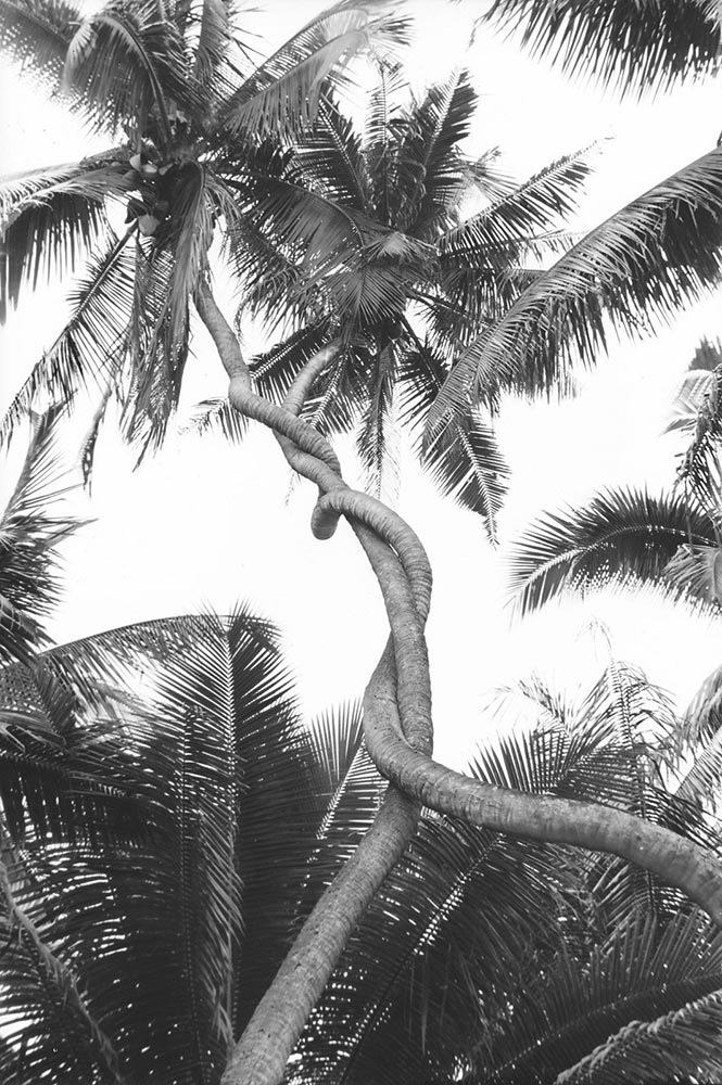 Cocotiers enlaçés. Tahiti 1940 Photo Paul-Isaac-Nordmann