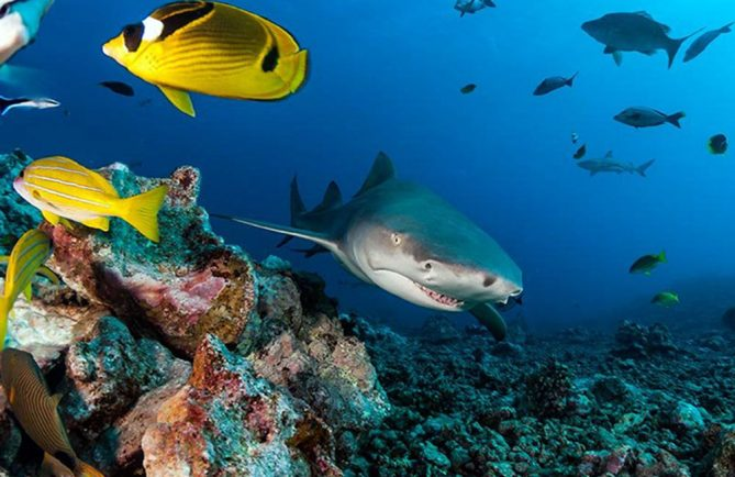 Requin citron. Photo Sylvain Girardot