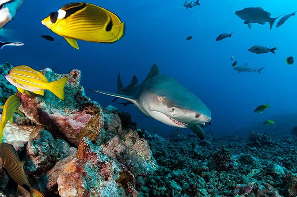 Requin citron. Photo Sylvain Girardot