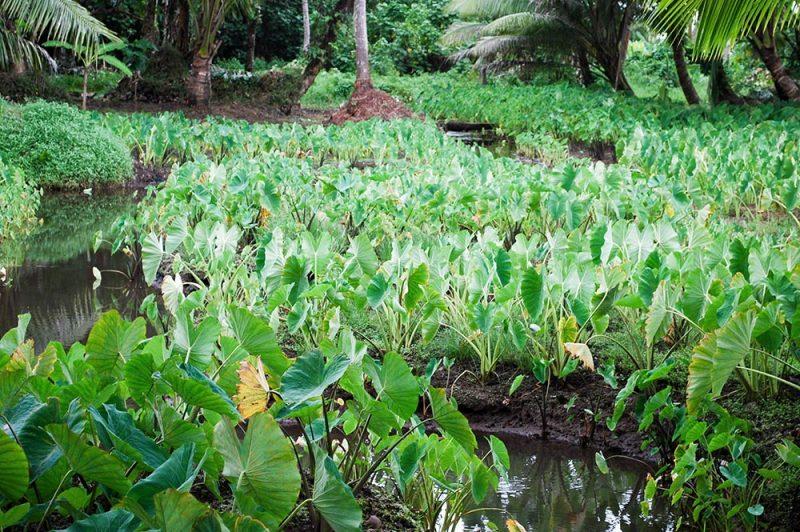 Tarodières de Tautira, Tahiti © Tahitiheritage