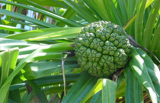 Fruit vert du Pandanus tectorius © Tahiti Heritage