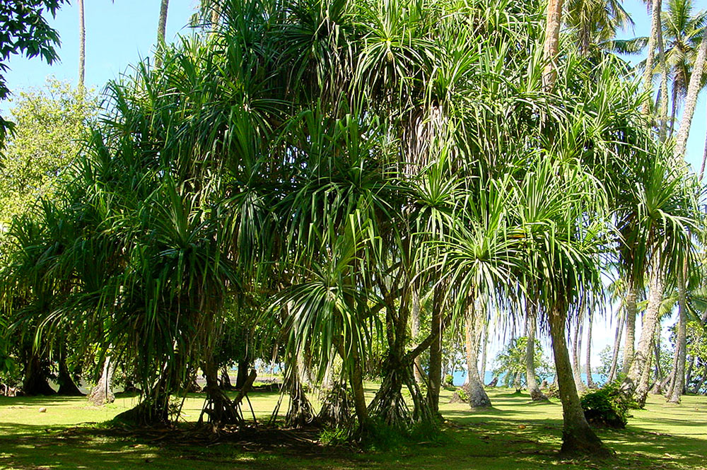 Bosquet de pandanus au jardin botanique de Tahiti
