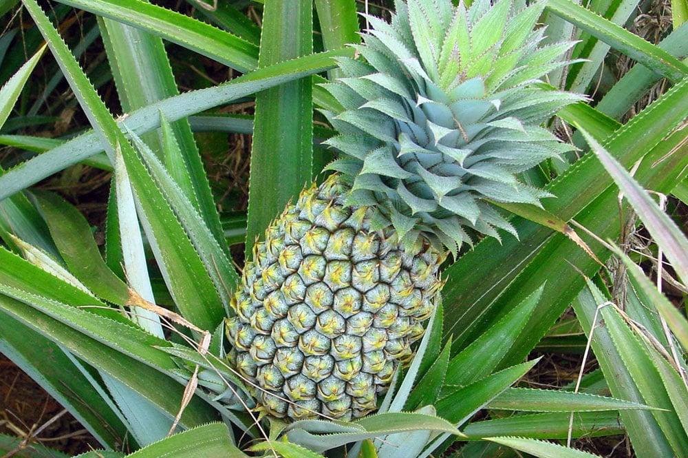 Ananas variété Queen Tahiti. © Tahiti Heritage