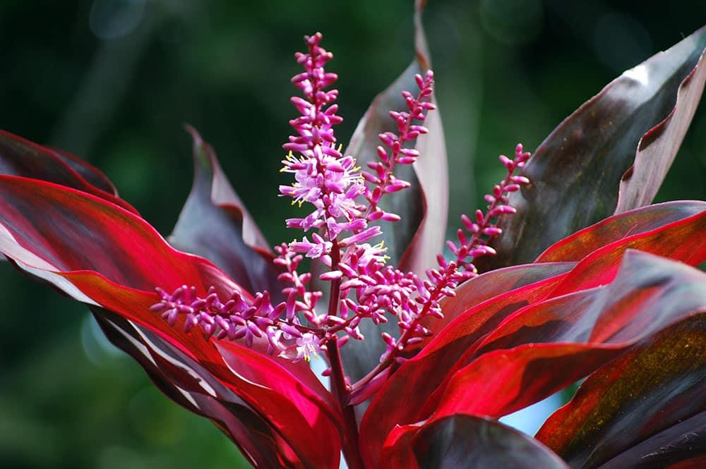 Fleurs de Auti de Tahiti - Cordyline