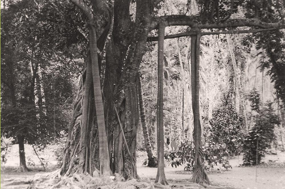 Banian du jardin botanique de Tahiti en 1970
