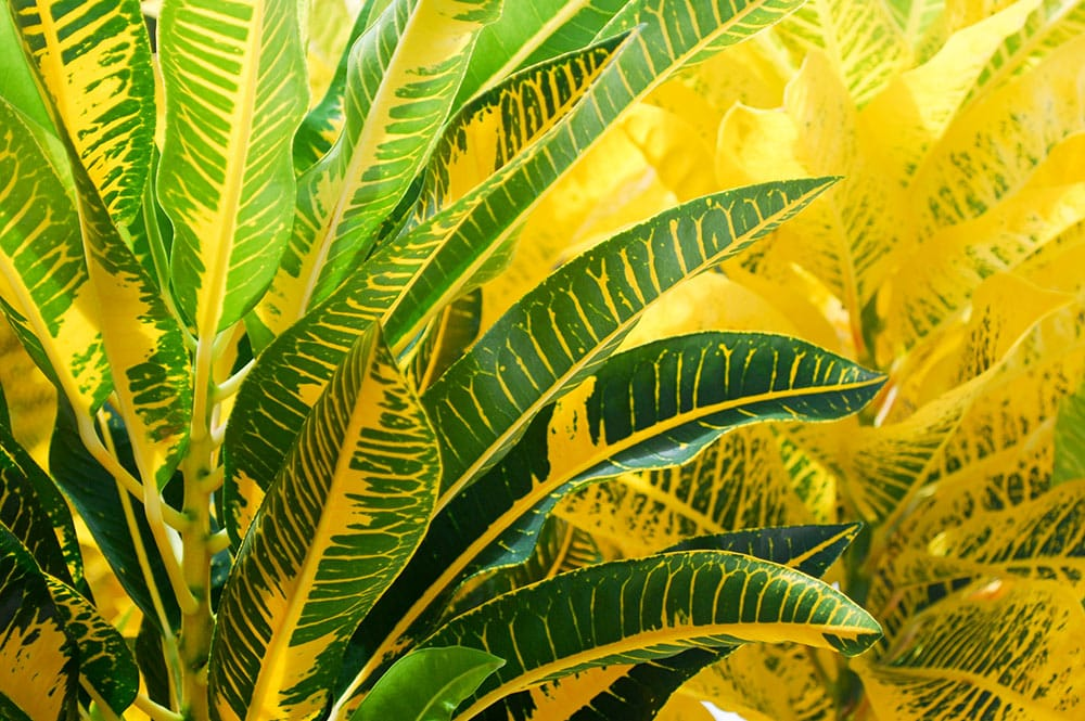 Croton jaune