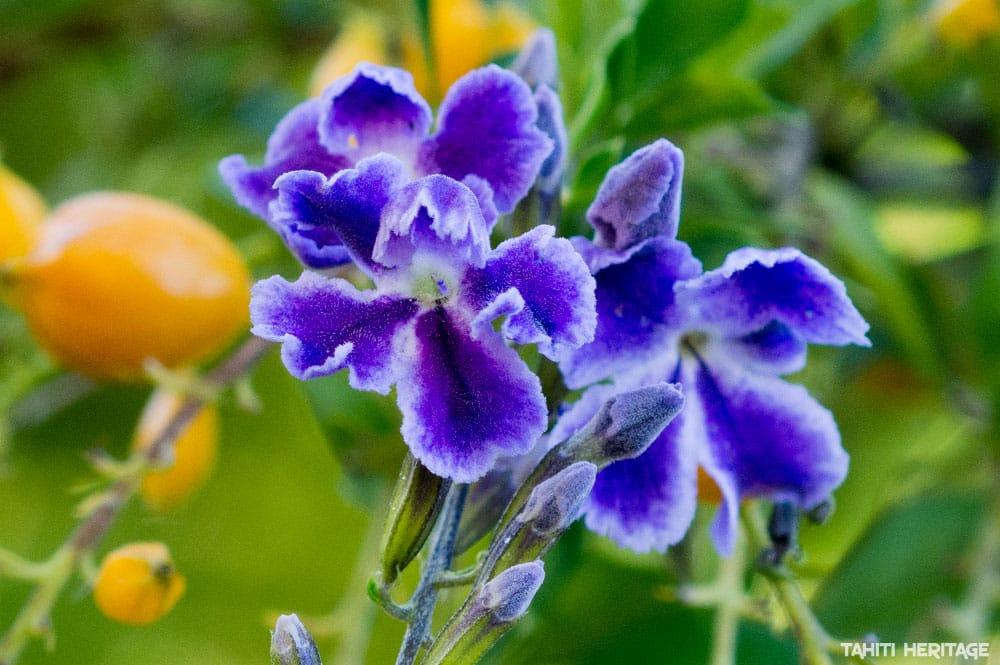Fleur de Durante (Duranta), la violette de Tahiti. © Tahiti Heritage