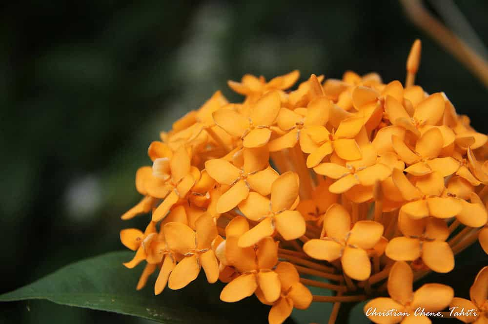 Ixora jaune - ixora coccinea. Photo Christian Chene