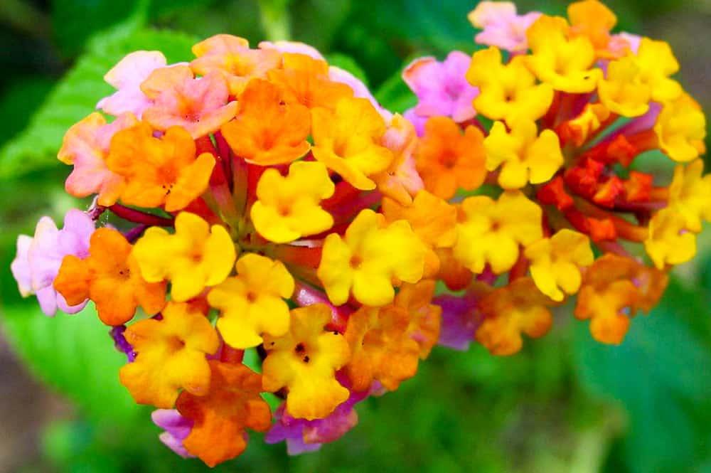 Lantana camara jaune orange